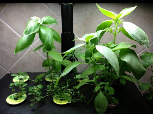 Aero-Garden Day 31