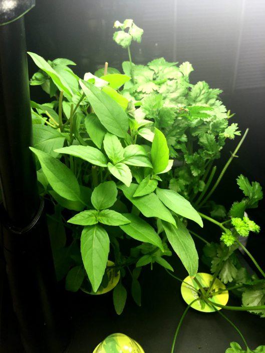 Aero Garden Winter Herbs