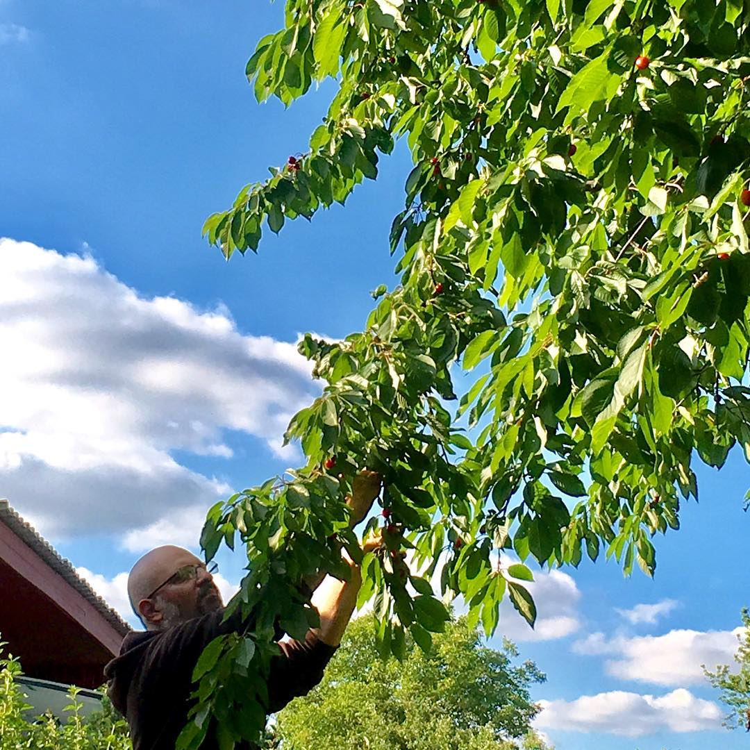 Getting the low hanging fruit #cherryharvest
