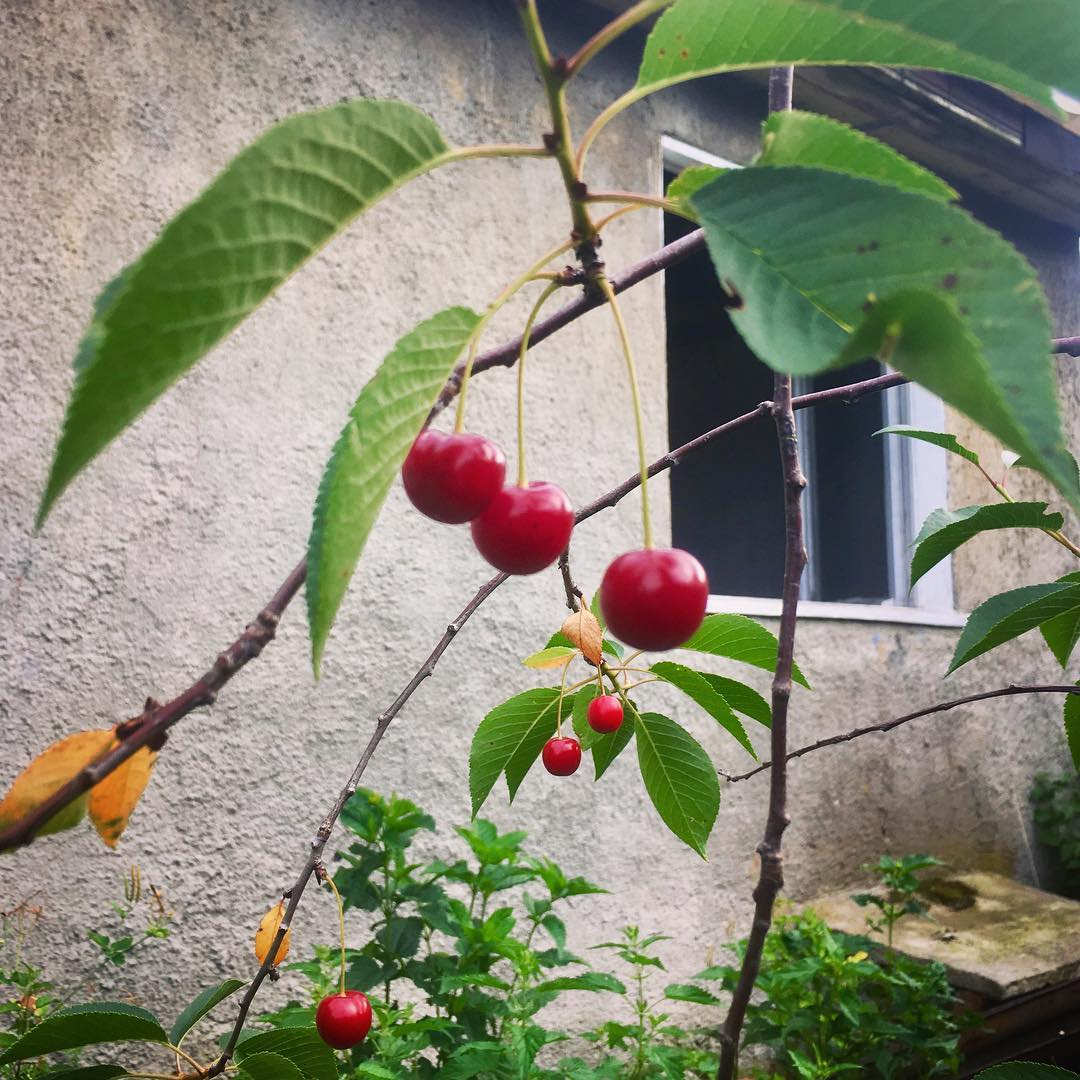 Our sour cherry tree (more of a twig really but did produce a couple dozen fruit ;)