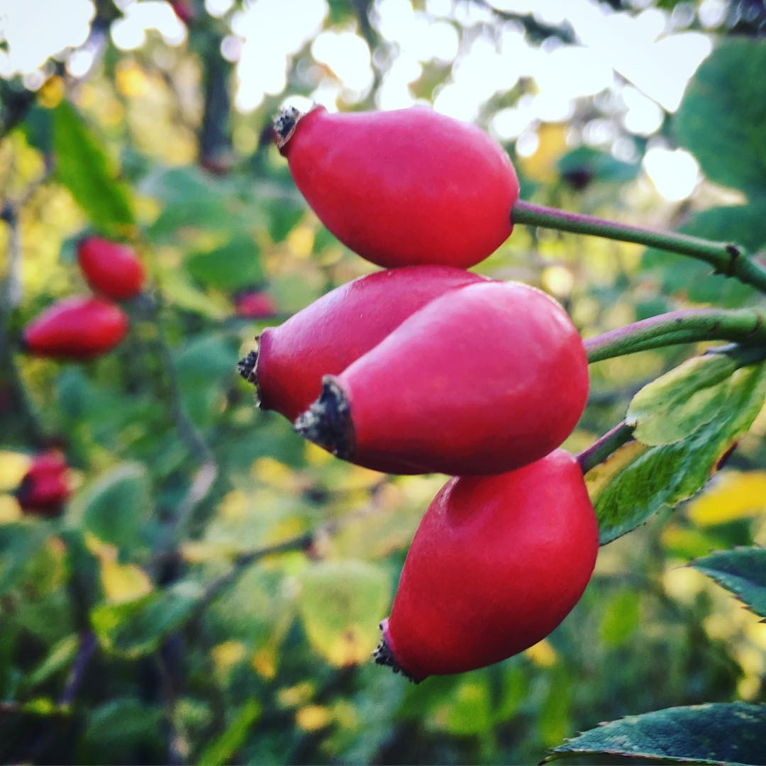 Rose hips getting plump