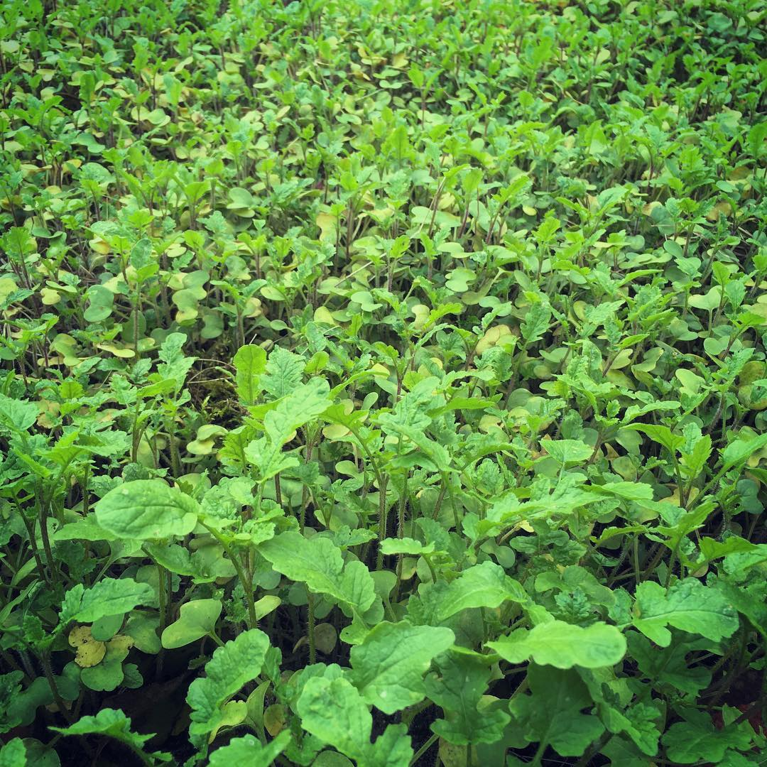 Mustard field #greenmanure