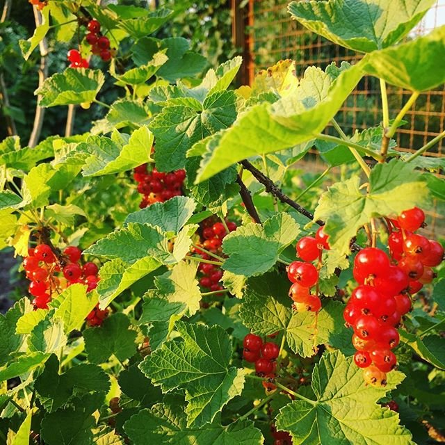 More berries getting ripe #currant #johannisbeeren