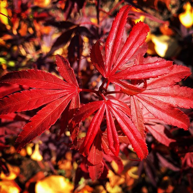 Japanese maple #shaina planted and doing well