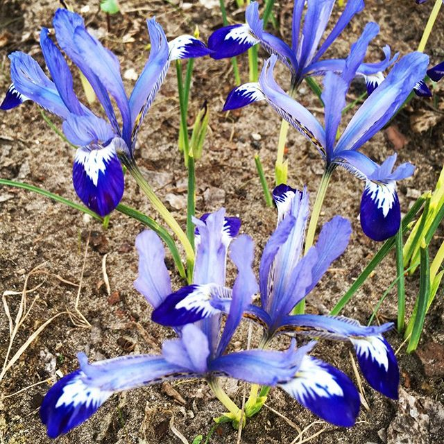 March blooms #irisreticulata planted last fall