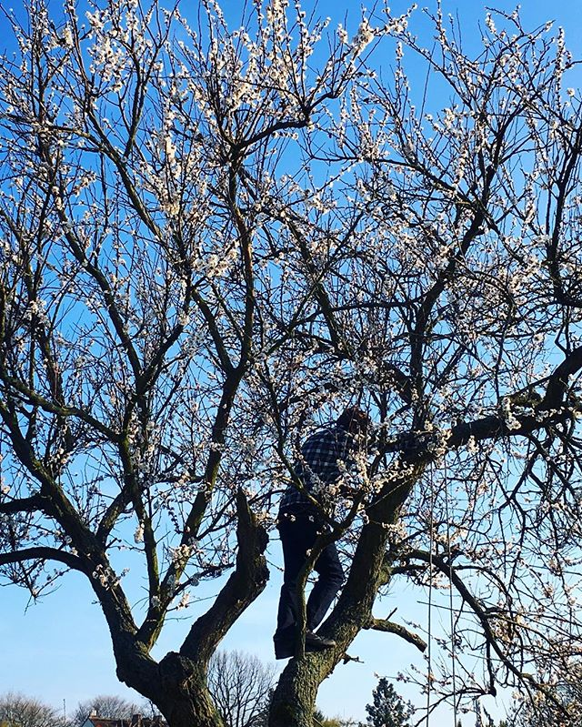 Inspecting the top of the blooming apricot