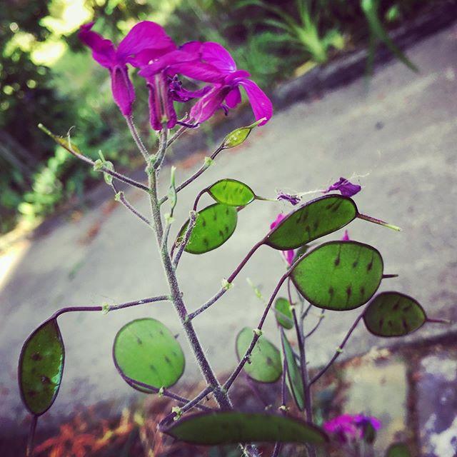 #lunaria seedpods