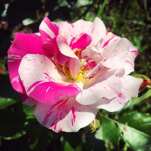 Nancy rose is blooming