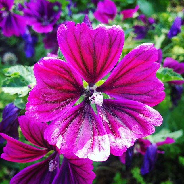 #malva frowering and getting many bee visits