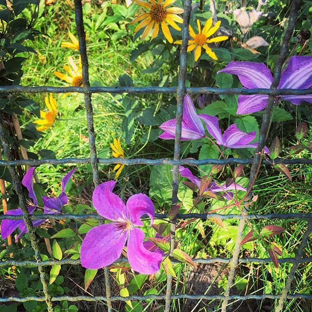 Clematis gift by @pixoid still blooming at the fence
