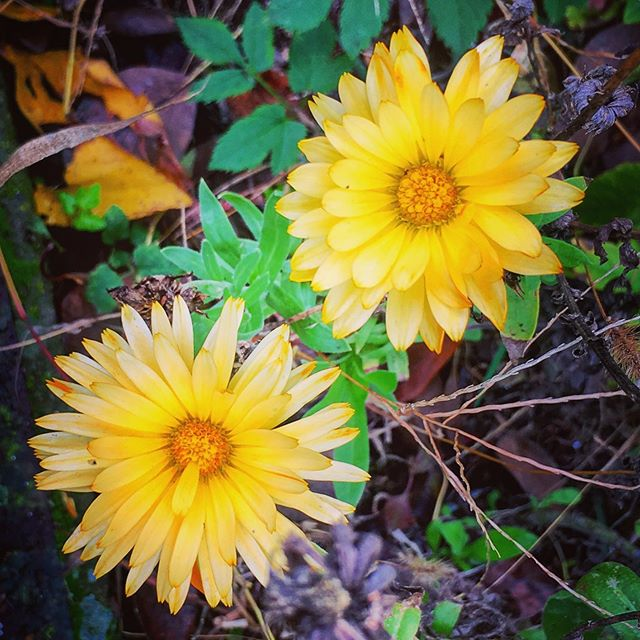 #octoberblooms #calendula