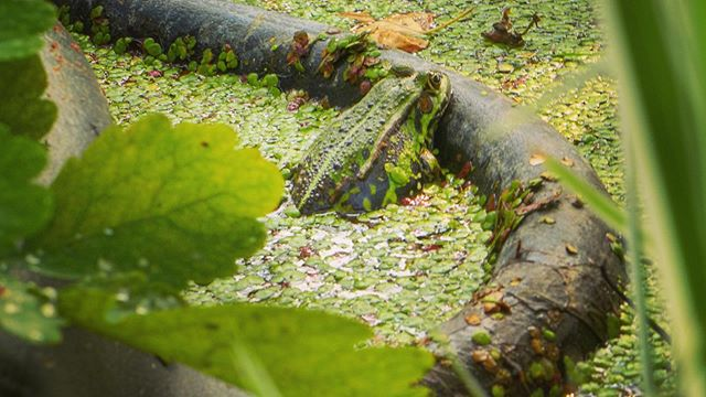 Wondering if our pond frog is now hibernating at the bottom… Or maybe at some other cozy spot around.