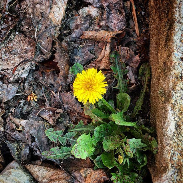 Forgotten corner & dandelion