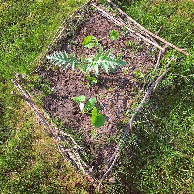 Two newly planted zucchinis, one overwintered artichoke. #twiggybeds