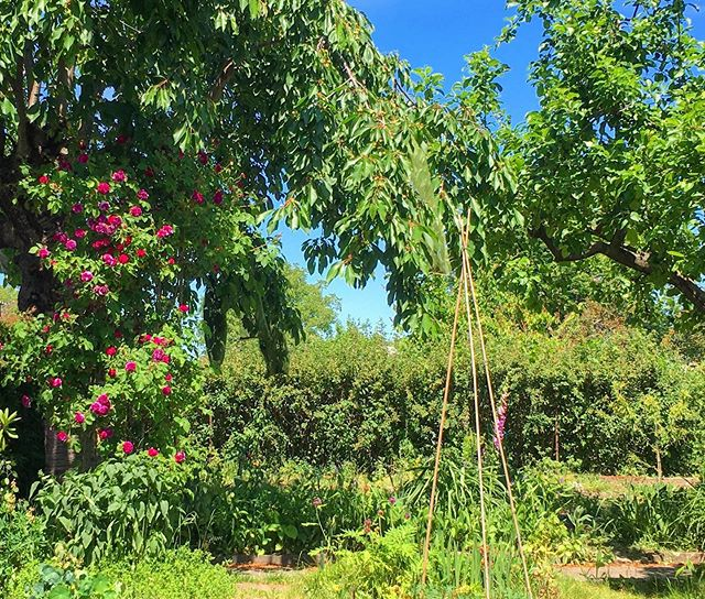 Summer lush. View from the swing bench with rose blooms and tomato wigwam.