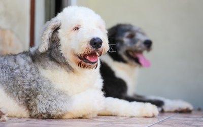 ¿Qué hacer si detectas un bulto bajo la piel de tu perro?