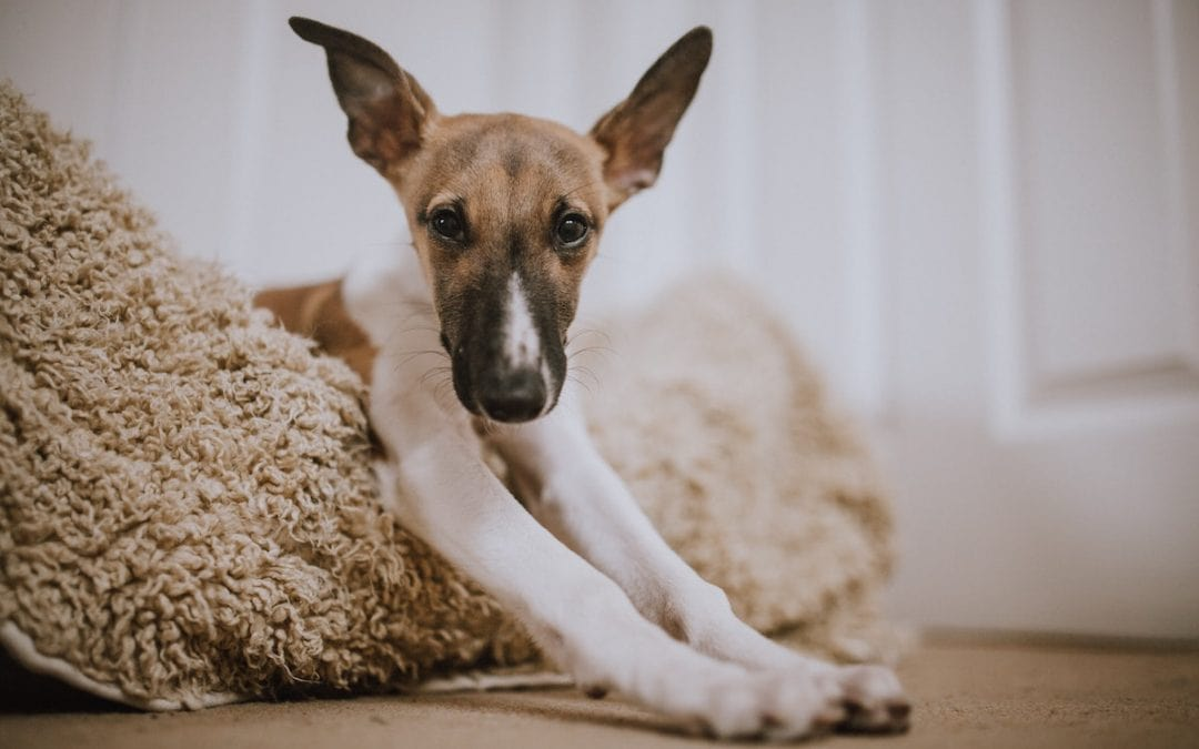 Juegos para perros y ejercicios en casa