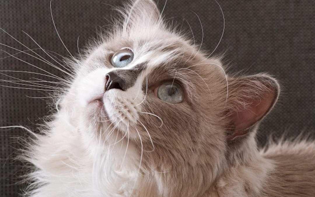 Bigotes gato