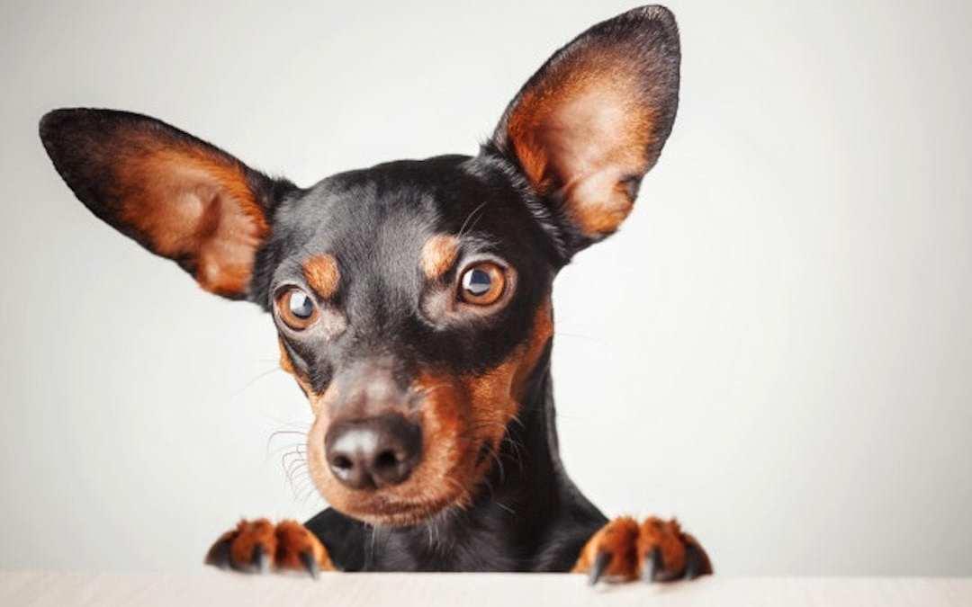 Limpiar los ojos y los oídos de tu mascota
