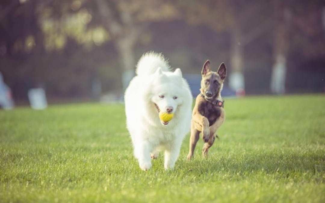 Dos perros Lenda