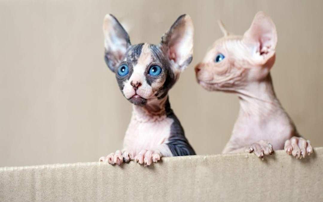 Gatos sin pelo: el sphynx