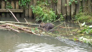 close up of the nutria on the fallen tree