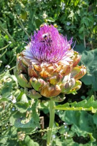 Artichoke and bumble bee