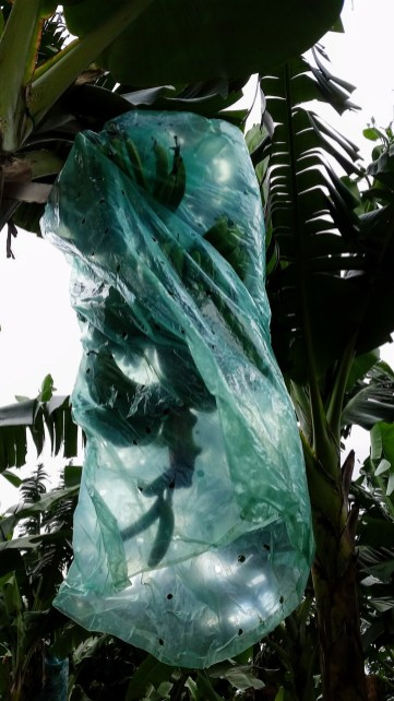 the fruit are covered in blue/green plastic for protection and to help them get ripe