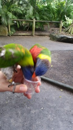 parrots drinking nectar