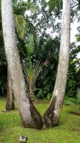 The double palm tree is rare, apparently