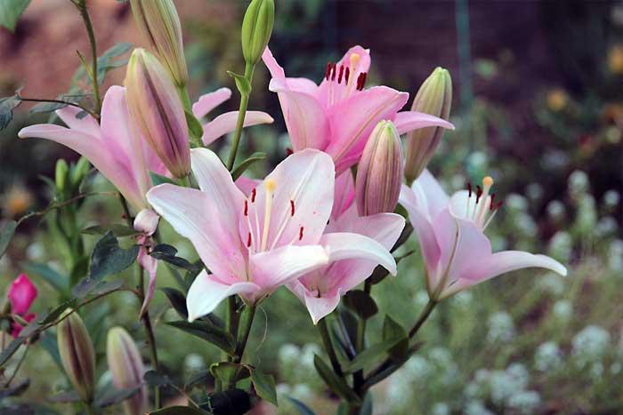 Bunga Lili (Lilium Candidum)