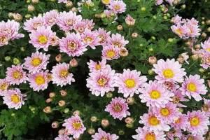 Bunga Aster