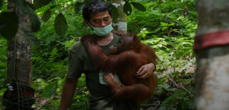 #allorangoiocitengo Di Leo a salvaguardia degli oranghi di Sumatra