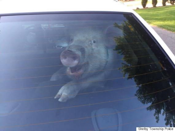 o-PIG-COP-CAR-570