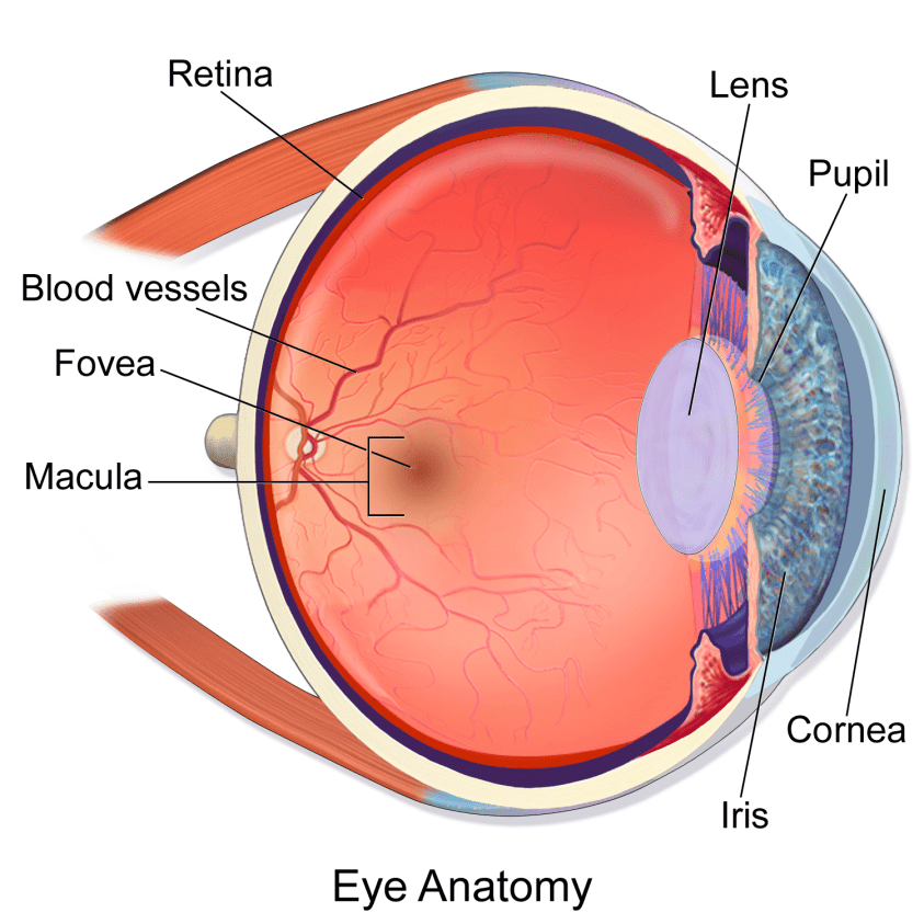 Eye - Anatomy, Functions, Diseases, Diagnosis, Tips For ...