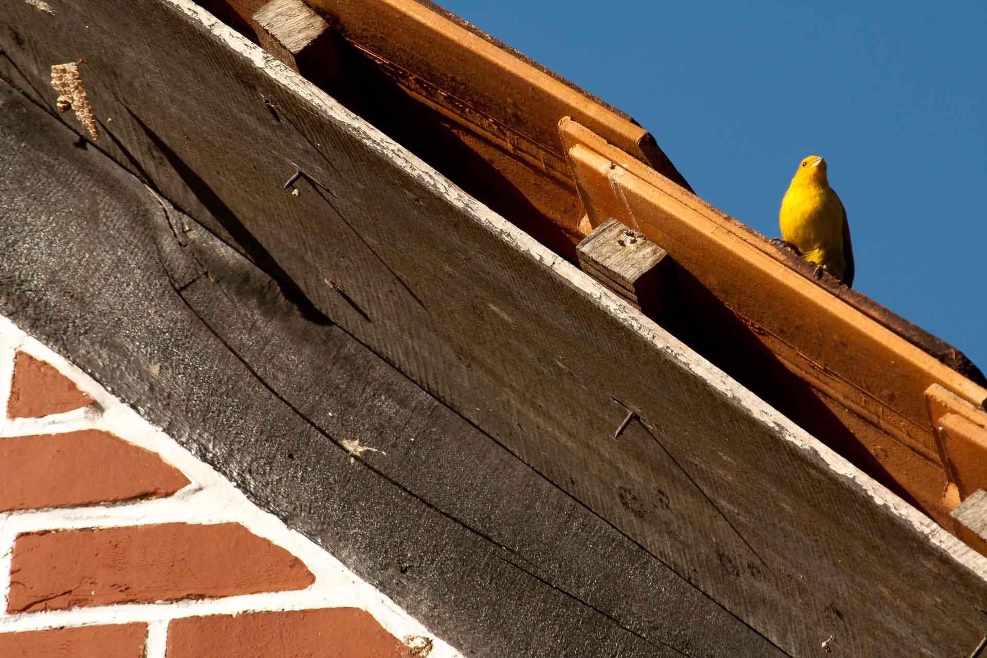 Um canário-da-terra pousa em uma telha de uma casa no bairro Vila Itoupava, em Blumenau