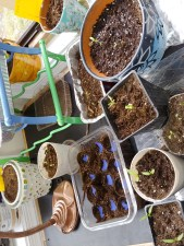 A picture of several pots with seedlings in.