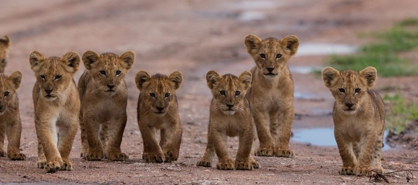 Lion cubs, South africa travel, leopard travel