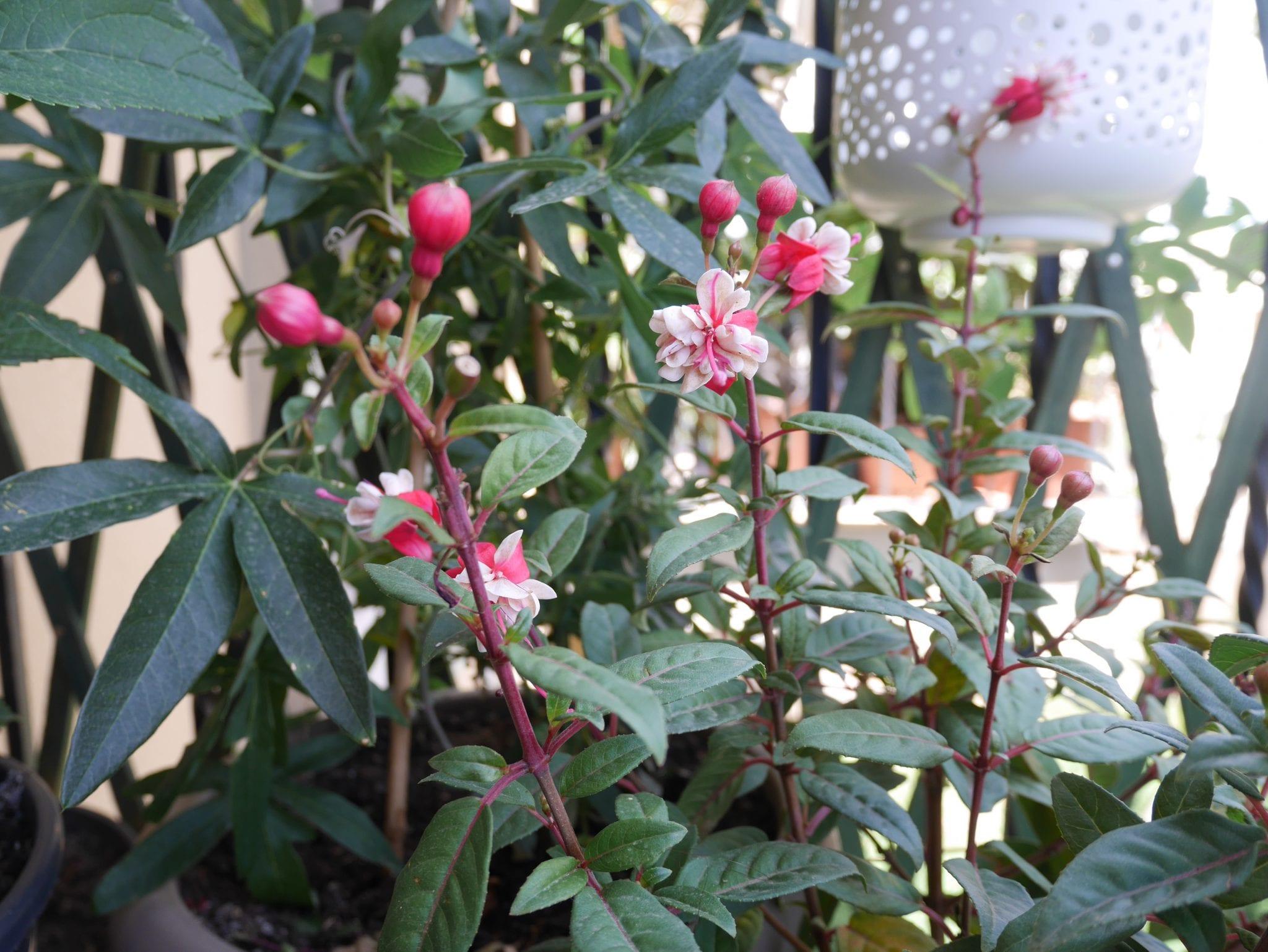 fuchsia fiore - Balcone - LePlume