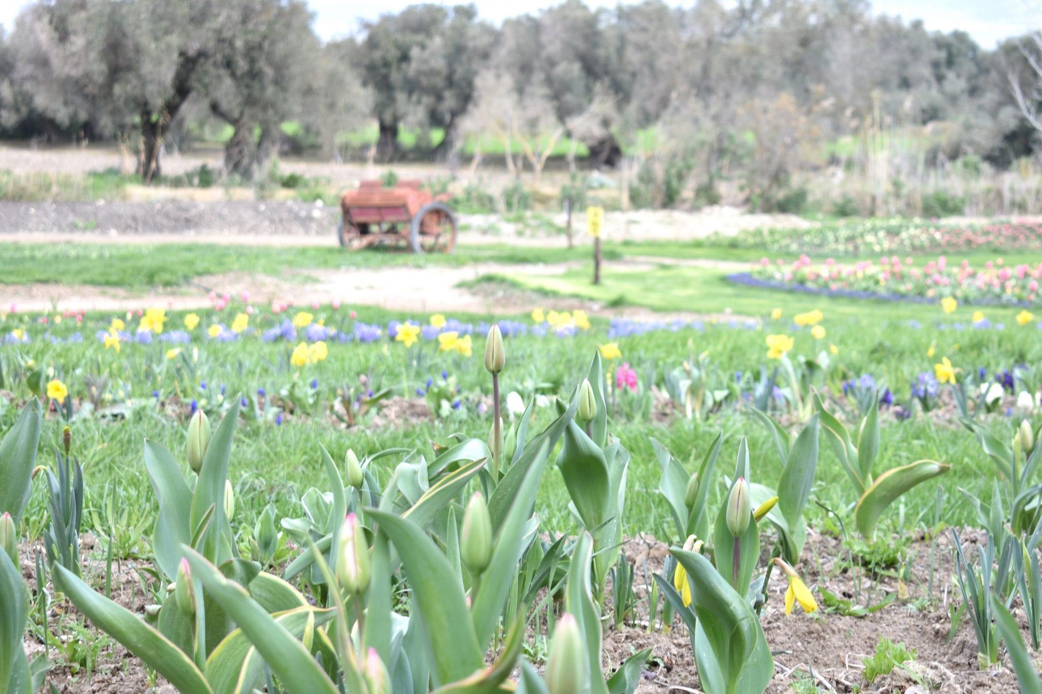 Campi di tulipani - Tulipani in Sardegna - Le Plume