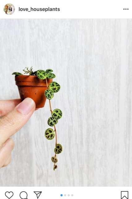 Peperomia Prostrata - Le piante di instagram - le plume