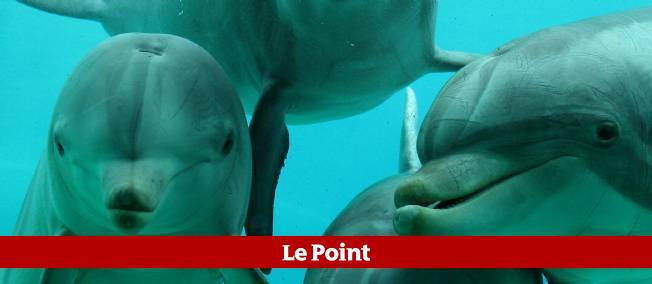 Les dauphins du parc Planète sauvage, en Loire-Atlantique, se sont prêtés à une curieuse expérience.