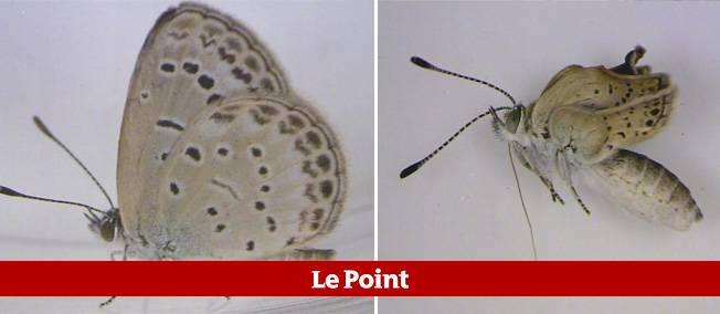 12 % des petits papillons bleus de la famille des lycénidés exposés à la radioactivité à l'état de larves ont développé des anomalies, notamment des ailes plus petites et une malformation des yeux.