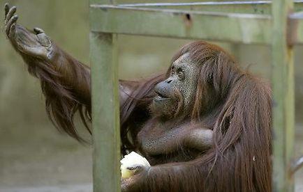 Sandra, une femelle orang-outan de 29 ans, au zoo de Buenos Aires le 22 décembre 2014