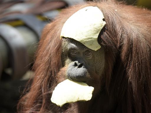 Sandra, une femelle orang-outan de 29 ans, au zoo de Buenos Aires le 22 décembre 2014 © Juan Mabromata AFP
