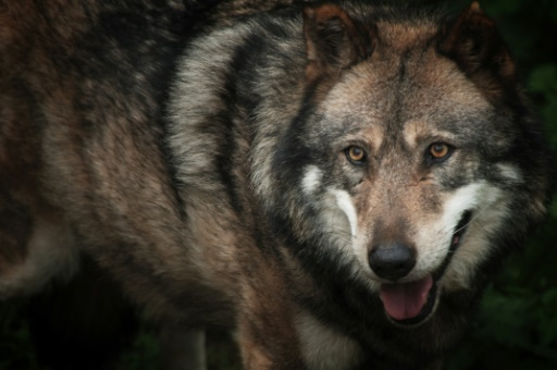Un loup évolue en captivité, le 15 octobre 2005 au Parc de Courzieu. © MARTIN BUREAU AFP/Archives