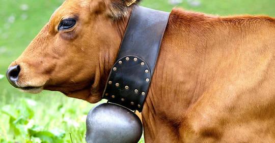 les cloches des vaches