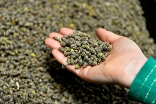 Cocons d'abeilles osmies. L'hiver, les cocons sont conservés en chambre froide. En jouant sur la température, la société Osmia est capable de programmer le réveil de ses abeilles avec une précision d'une demi-journée. © GEORGES GOBET AFP