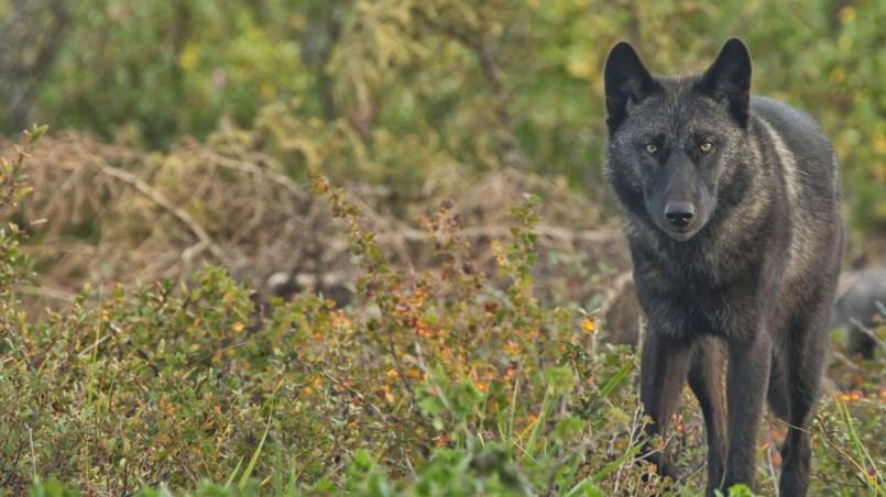 Wolf by Robert Postma