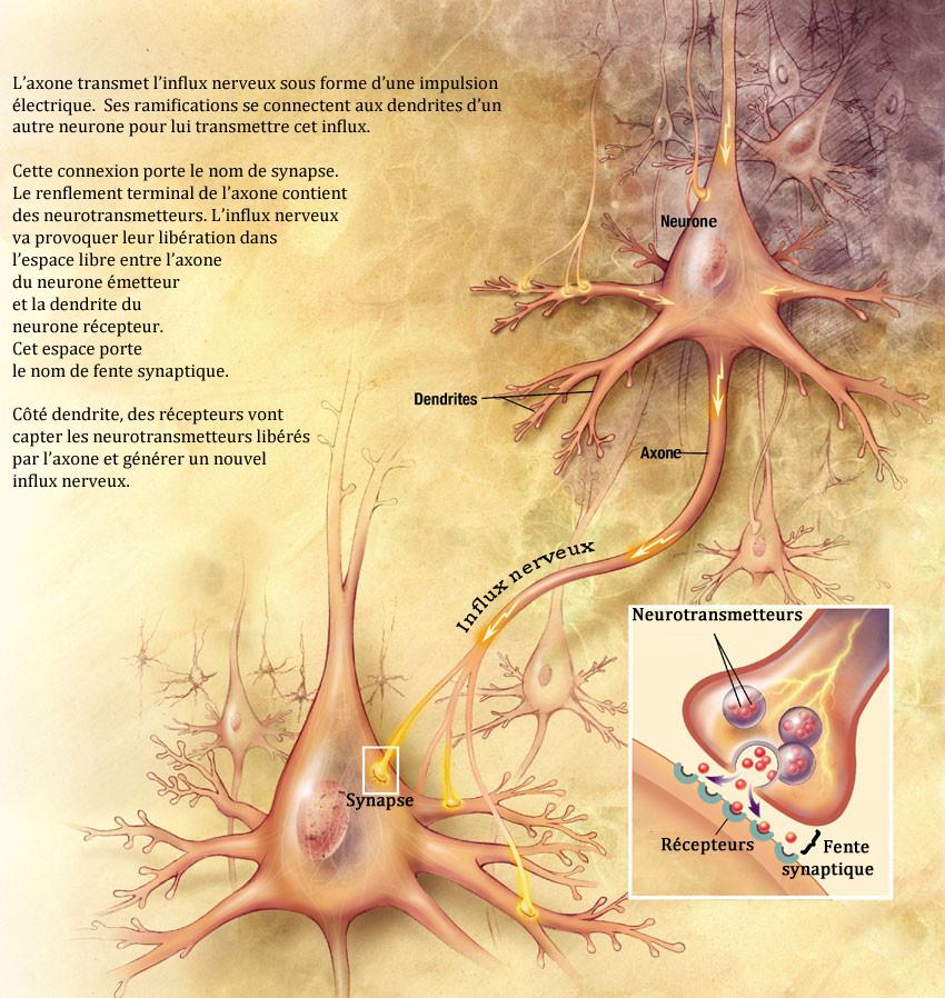 synapse-libre-grande-fr-avec-explications